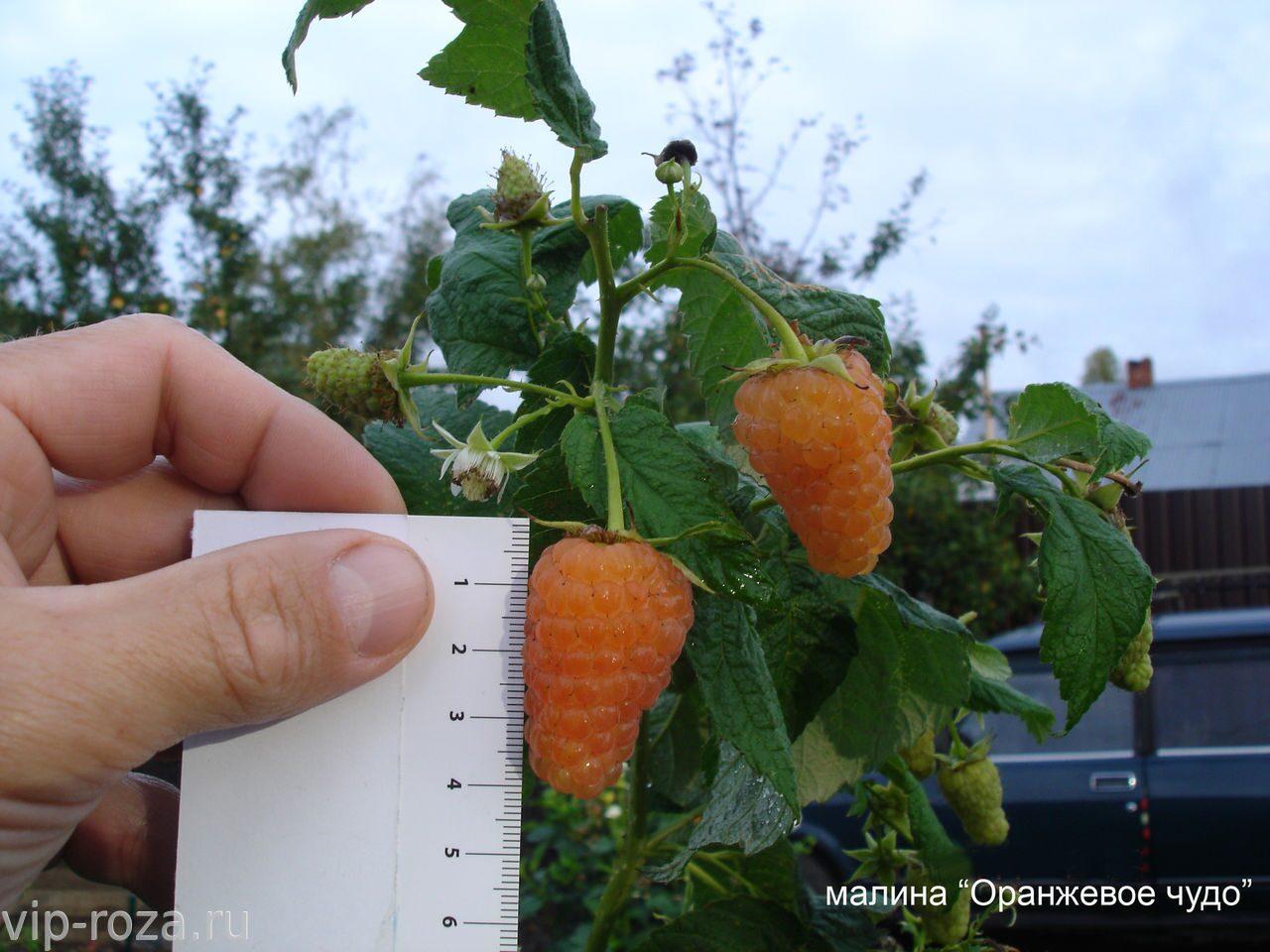 Ремонтантная малина оранжевое чудо выращивание и уход обрезка 96